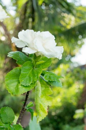 malvaceae: White Hibiscus rosa-sinensis L. MALVACEAE