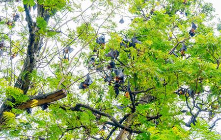 pteropus: Bat, Lyles flying fox Pteropus lylei Hanging on Tree