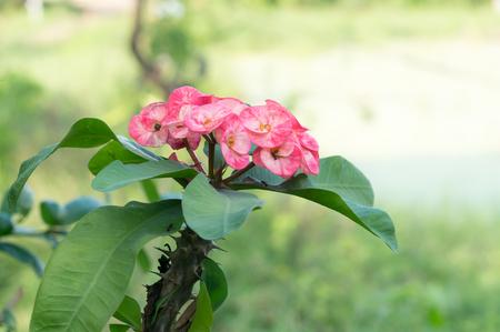 corona de espinas: Corona de espinas flor, Cristo Thorn, Euphorbia mili