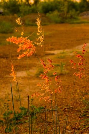 iluminado a contraluz: Retroiluminada hierba Foto de archivo