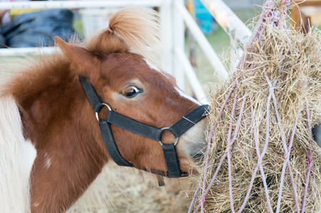 hair tie: The small horse and hair tie eating dry hay.