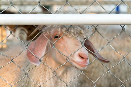 sheep eye: Sheep behind the cage