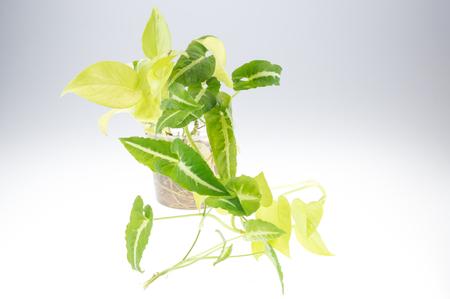 house robes: Epipremnum aureum (family Araceae) plant in pot