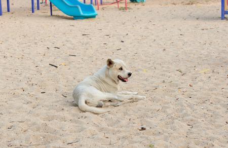 poor eyesight: White dog on the sand courts and poor eyesight. Stock Photo