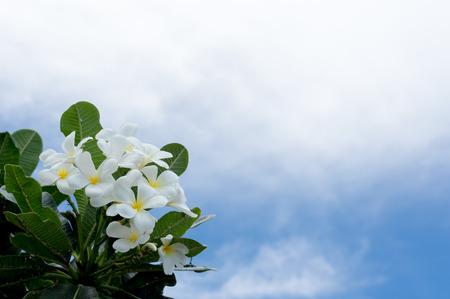 plumeria on a white background: frangipani flower, plumeria flower, white plumeria with blue sky background