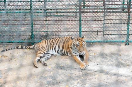 tigresa: Tigre en el zoológico con jaula desenfoque