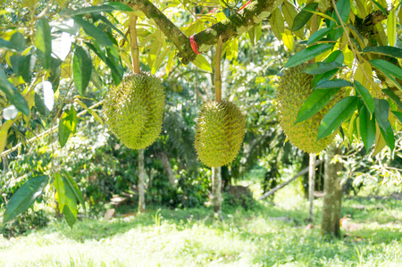 Verse durian op zijn boom