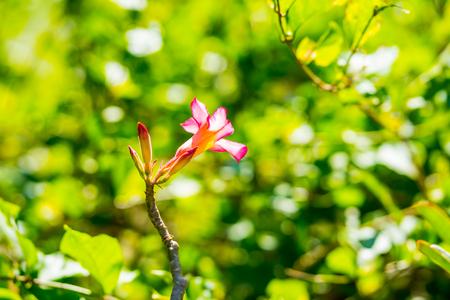 Adenium flower. Adenium multiflorum. Desert Rose. Stock Photo