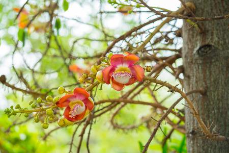 Cannonball Tree flowers (Couroupita guianensis) Sal flowers,Sal Tree
