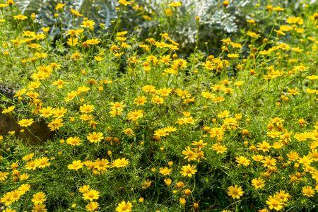 euryops chrysanthemoides or african bush daisy or nine bright daisy flowers  in the garden