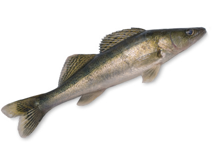white perch: Pike perch isolated on a white background
