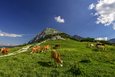 Cattles on Alpine meadow  Cows grazing freely on a high altitude pasture, in the middle of the Bavarian Alps. The perfect recipe for a yummy milk is the mountain fresh air and this green grass.