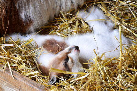 pygmy goat: Baby goat sleeping  Image with an adorable pygmy goat sleeping in a bed of straws. This cute baby animal is an african breed seen mostly in farms or as pet.