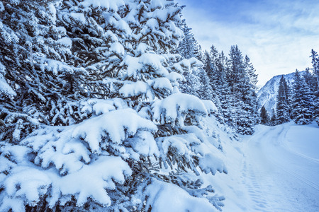 seasonable: Snowy branches of trees  Close-up image with branches of fir loaded with snow on the side of a path, mountains and forest in the background.