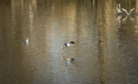 beak: Flying seagull with food in its beak  Image with an seagull flying above a lake with a piece of food in its beak.