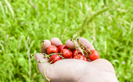 pome: Hand full of cherries  Hand of a man full with ripe red cherries, on a background of green grass. Tasty and healthy fruits picked up right from the tree. Stock Photo