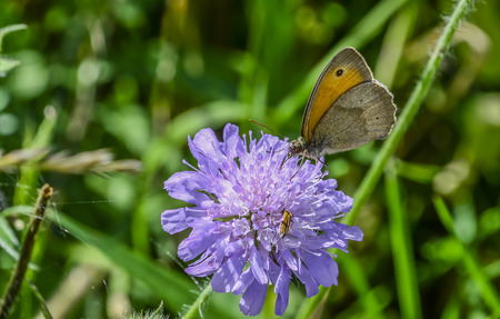 devouring: Brown meadow butterfly on wildflower  Macro photography of a lovely Maniola jurtina butterfly, commonly known as the meadow brown, while devouring the nectar from a summer purple wildflower. Stock Photo