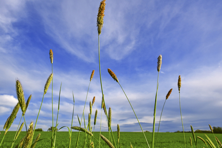 rural skyline: Grass threads under blue sky - Landscape image with couple of Foxtail grass threads with the blue sky and green meadow as background Stock Photo