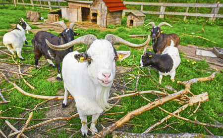 Exemplar: Long horned goat squad - Group image in a goat ranch with this white exemplar in the front line, I think also its something like a chief or farm elder, considering the big horns and a long beard. Stock Photo