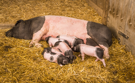 sow: Sow and piglets on hay - Female pig from the Swabian-Hall swine, a german breed, lying on straws in its farm lair with six baby pigs around it.