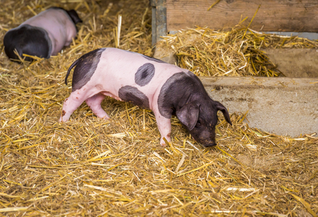 German breed piglet - Image with a two weeks old piglet, Swabian-hall swine breed,  from a small german farm.
