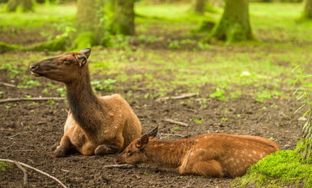 mother and baby deer: Baby deer and its mother resting in the forest, enjoying the sunlight on a sunny day of summer