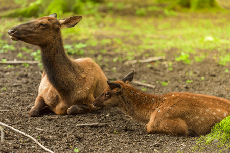 mother and baby deer: Beautiful red deer baby sitting down near its mother, in the forest, on a sunny day of spring