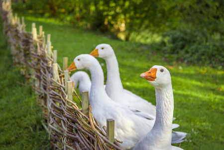 wattled: Funny white goose stretching its neck over wattled twig fence from a small german bird farm Stock Photo