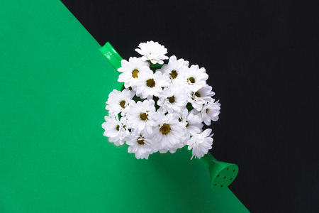 Lovely spring concept with a bouquet of white delicate daisies in a green watering can on a green and black background.