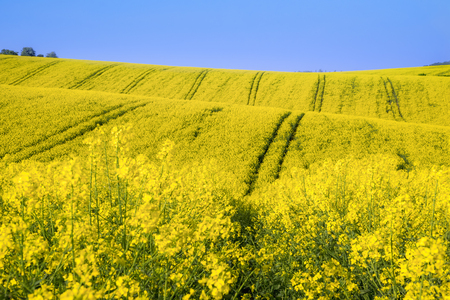 Beautiful landscape with yellow rapeseed cultures on hills, on a sunny day, near Korycany village, in South Moravian Region, in the Czech Republic.