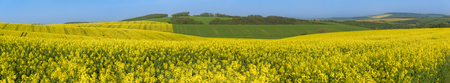 Landscape with yellow rapeseed cultures and green hills, in the beautiful South Moravia region, in the Czech Republic, on a sunny day of summer.