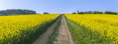 Panorama with endless yellow blooming rapeseed field and a country road through it, on a sunny day, in South Moravian region, in the Czech Republic.