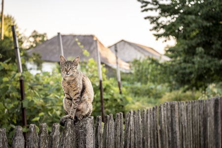Adult cat sits on a weathered wooden fence in a countryside scenery.