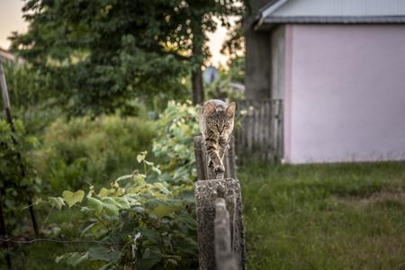 Farm cat walking carefully on a narrow wooden fence