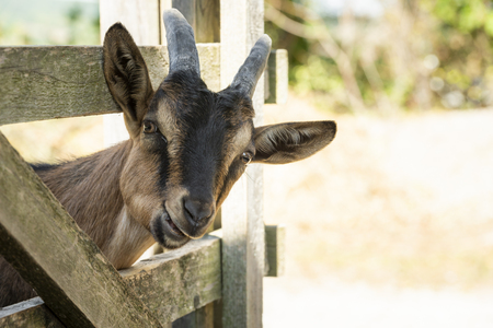 Young brown farm goat stick its head through ranch fence and chews while looking at the camera