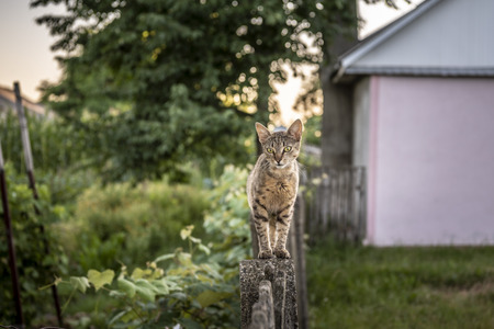 Curious domestic cat walking on a wooden fence in the backyard