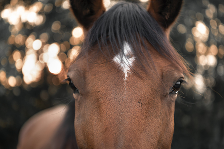 Close-up with the face of a brown horse with black hair and a white spot on its forehead, looking straight at the camera, selective focus image.
