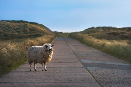 Funny sheep standing alone on an empty street, watching the camera, in the dunes of the Sylt island, Germany, in the morning light.