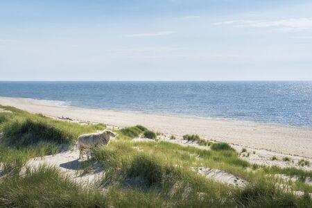 Beach landscape with blue water, sandy beach, grassy dunes and sheep gazing the horizon, on Sylt island, Germany. North sea beach. Summer destination