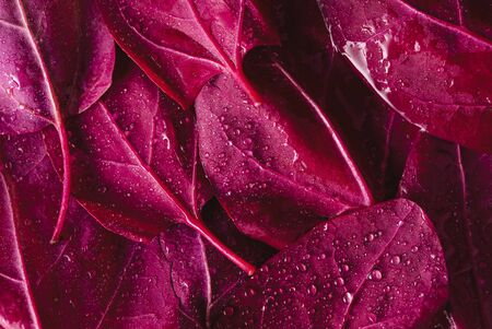 Red orache or mountain spinach leaves sprinkled with water. Background with atriplex hortensis red leaves