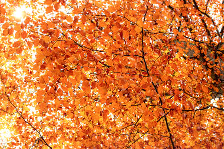Autumn leaves background. Fall colored tree branches. Tree with orange leaves bottom-up view. Sunny fall backdrop. Outdoor autumn tree canopy.