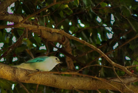 Little bird light blue resting on tree branch, it is of the family of `tangara` and is called widow at Costa Rica.
