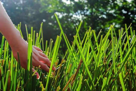 Vetiver and a hand, grass with large and green leaves. Fresh and colorful leaves close up. Chrysopogon zizanioides.