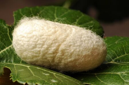 Cocoon of B. mori on mulberry leaf Bombyx mori Stok Fotoğraf