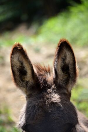 Close up of a donkey's ears