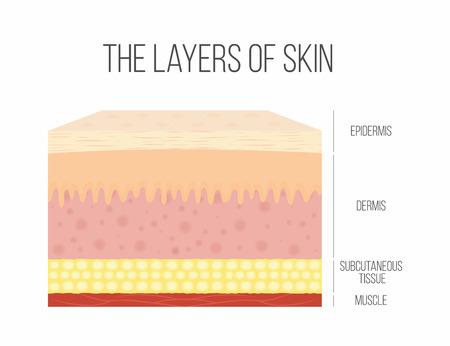 피부층. 건강한 정상적인 인간의 피부. 벡터
