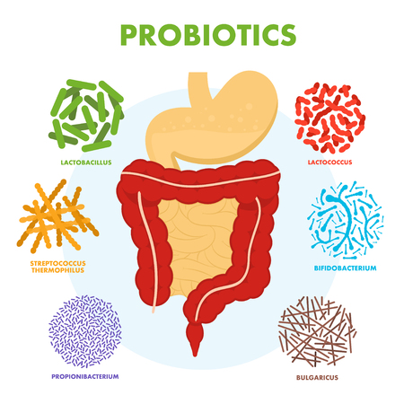 Human digestive tract system with probiotics. Human intestine microflora. Microscopic probiotics, good bacterial flora, viruses in intestine. Vector