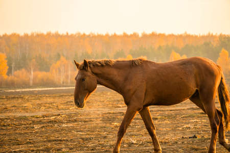 The stallion ranch is in the background of the sunset. A horse walks through a plowed field in the morning at dawn