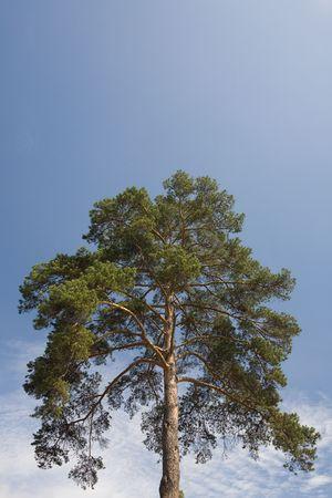 pinetree: Alone pine-tree over sky Stock Photo