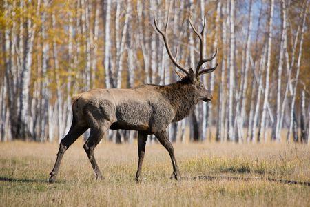 bugle: Male deer Stock Photo